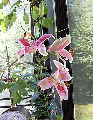 my stargazer lilies